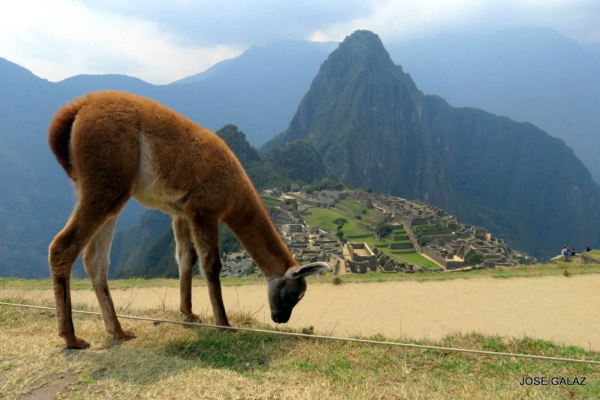 Young brown alpaca eating grass in foreground with Macchu Picchu and mountains in the background