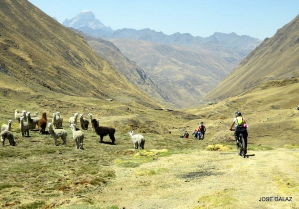 Mountain Bikers riding in a line down center of grass-covered mountain valley with small herd of alpacas on the left. Photographer's name, Jose Galaz, in black at lower right